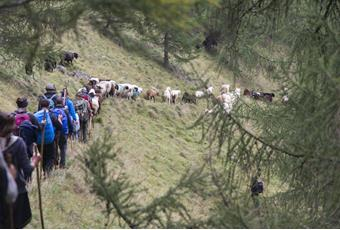 Transhumance between the Ötztal valley and Senales Valley in South Tyrol