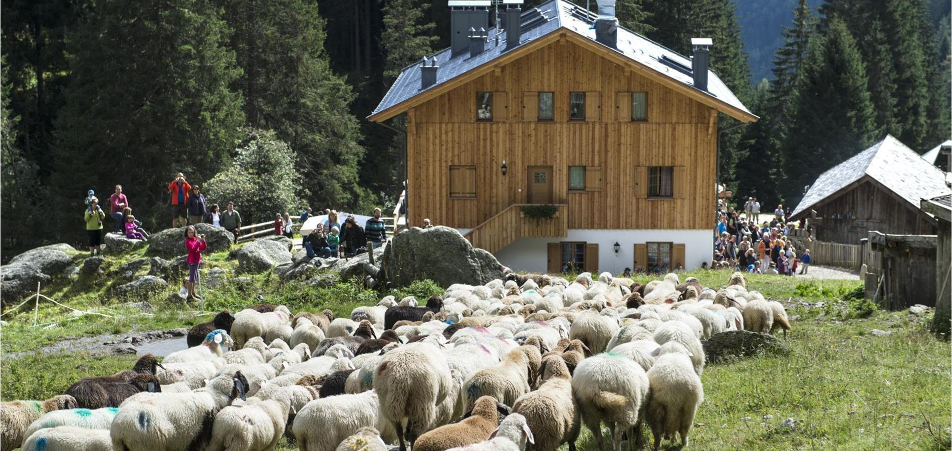 The transhumance of the returning sheep herds in Parcines