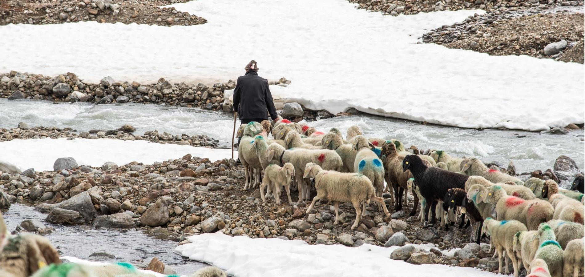 The transhumance of the sheep