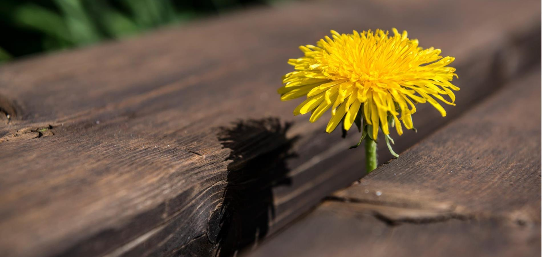 Dandelion Weeks in Deutschnonsberg Region