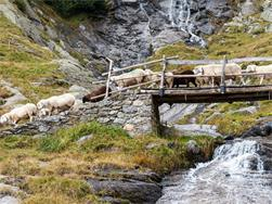 The Transhumance in Parcines - the return of the herds from Zieltal Valley!