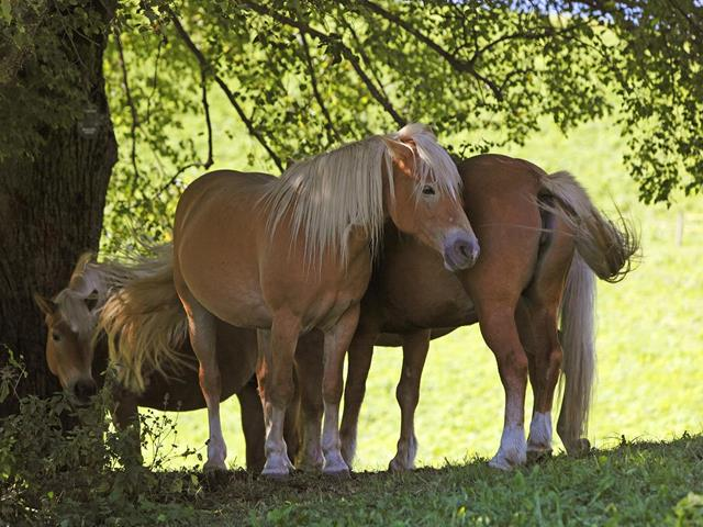 The Haflinger horse